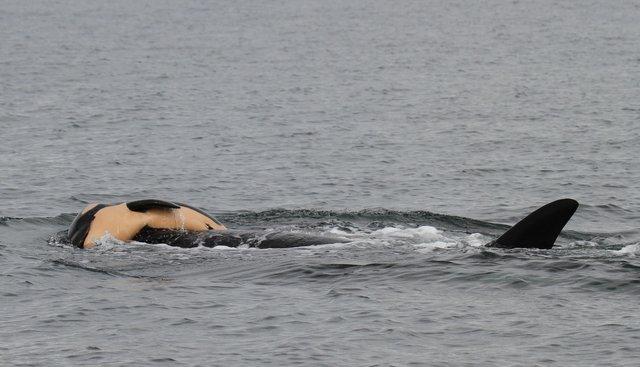 Por tercer día, la madre orca en duelo lleva encima a su cría muerta